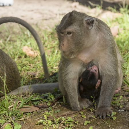 Close-up of monkey nursing its baby, Krong Siem Reap, Siem Reap, Cambodia 版權商用圖片