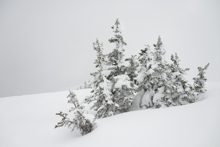Snow covered evergreen trees on mountain, Whistler, British Columbia, Canada
