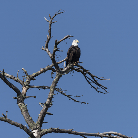 Bald Eagle perching on a tree, Kenora, Lake of the Woods, Ontario, Canada Stock Photo