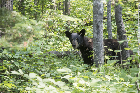 Black bear in a forest, Kenora, Lake of The Woods, Ontario, Canada Stock Photo