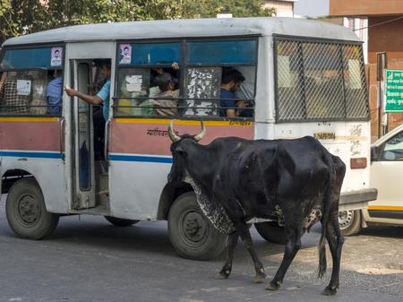 Stray cow walking near a bus on street, Jaipur, Rajasthan, India
