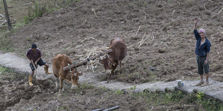 Farmers plowing field with cattle, Hatti Dunga, Kaluk, Sikkim, India
