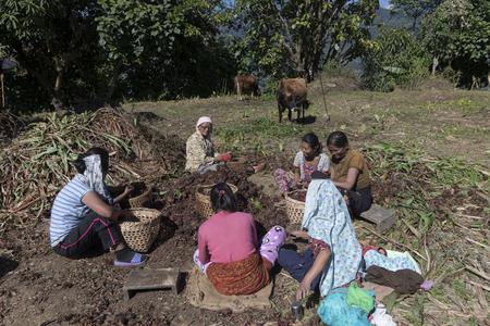 Women harvesting crop, Hee Patal, West Sikkim, Sikkim, India