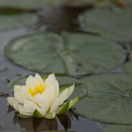 lilypad: Flower on Lilypads