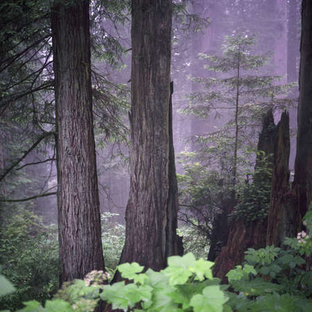Photographs of Redwood Forest, California