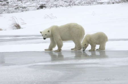 churchill: Polar Bears in Churchill Manitoba