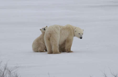 churchill: Polar Bears - Churchill Manitoba