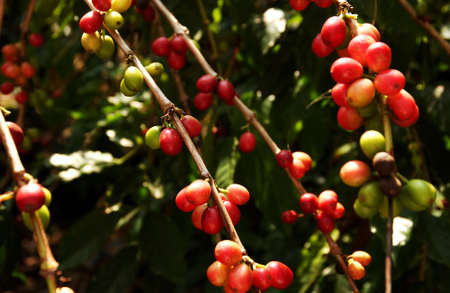 kona: Kona Coffee - Big Island - Hawaii