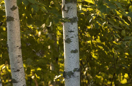 trees photography: Lake Photography - Two Birch Trees Stock Photo