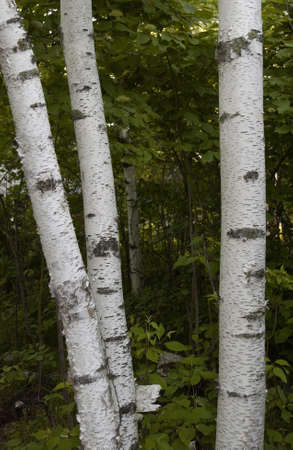 trees photography: Lake Photography - Three Birch Trees Stock Photo