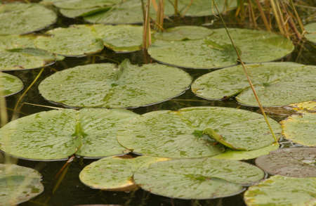 lilypad: lilypads at lake Stock Photo