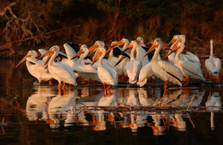 Lake of the Woods - Pelicans photo