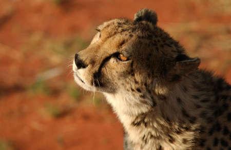 sightsee: Cheetah - Nambia Africa