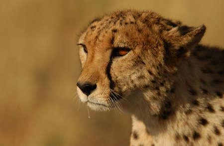 africat: Cheetah - Nambia Africa