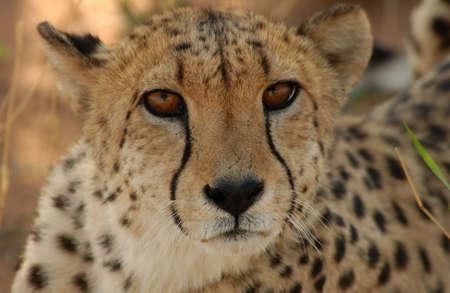 okonjima: Cheetah - Nambia Africa