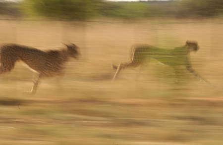 Cheetah - Nambia Africa Stock Photo - 183097