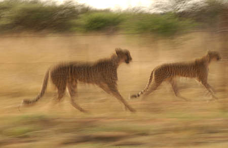 Cheetah - Nambia Africa Stock Photo - 183098