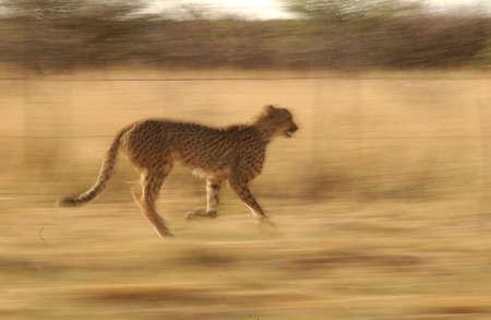 jubatus: Cheetah - Nambia Africa