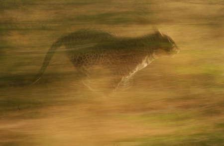 cheetah: Cheetah - Nambia �frica Foto de archivo