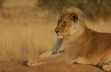 Lions - Namibia, Africa Stock Photo - 183112