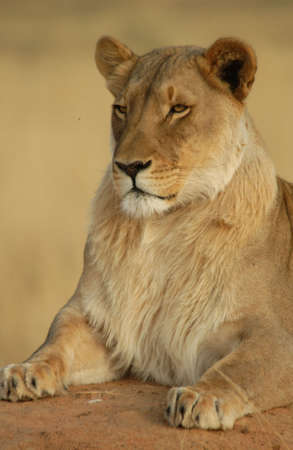 okonjima: Lions - Namibia, Africa Stock Photo
