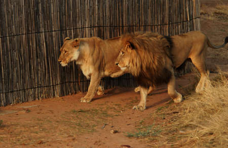 africat: Lions - Namibia, Africa Stock Photo