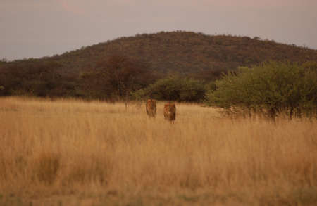 Lions - Namibia, Africa Stock Photo - 183118