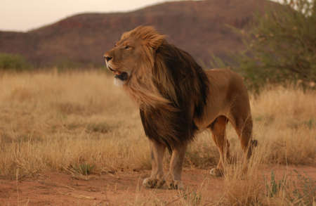 species: Lions - Namibia, Africa Stock Photo