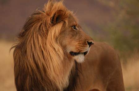 profile: Lions - Namibia, Africa Stock Photo