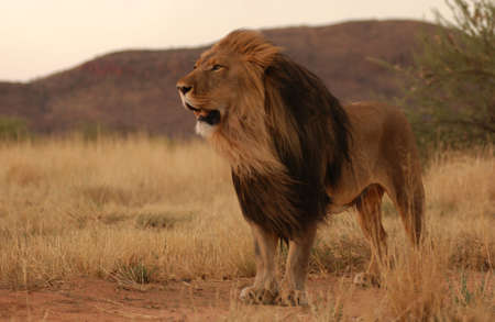 manes: Lions - Namibia, Africa Stock Photo