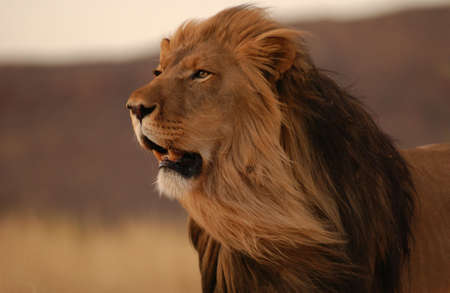 head of lion: Lions - Namibia, Africa Stock Photo
