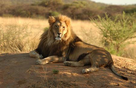 stone lion: Lions - Namibia, Africa Stock Photo