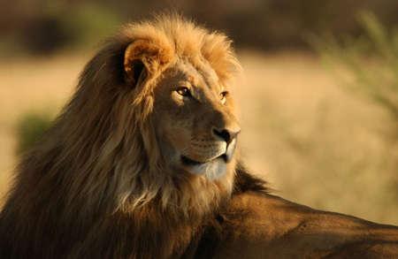 of lions: Leones - Namibia, �frica Foto de archivo