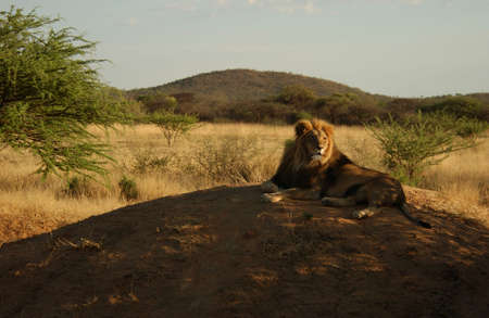 Lions - Namibia, Africa Stock Photo - 183129