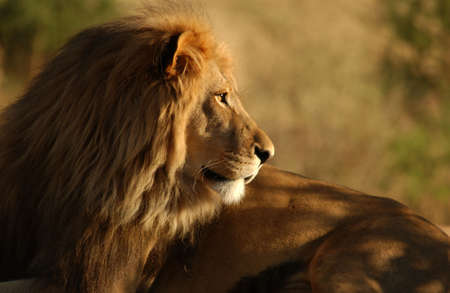 Lions - Namibia, Africa photo