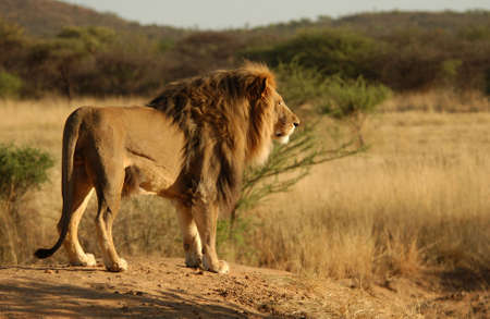 Lions - Namibia, Africa Stock Photo