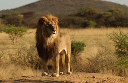 habitats: Lions - Nambia, Africa