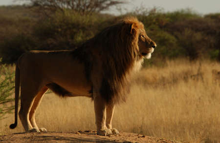 Lions - Namibia, Africa Stock Photo - 183135