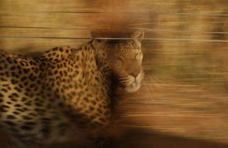 okonjima: Leopard - Namibia, Africa