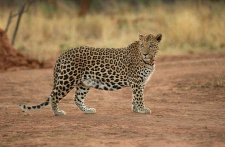 panthera: Leopard - Namibia, in Africa