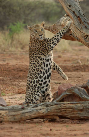 Leopard - Namibia, Africa Stock Photo - 183146