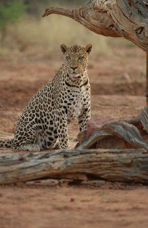 Leopard - Namibia, Africa Stock Photo - 183148