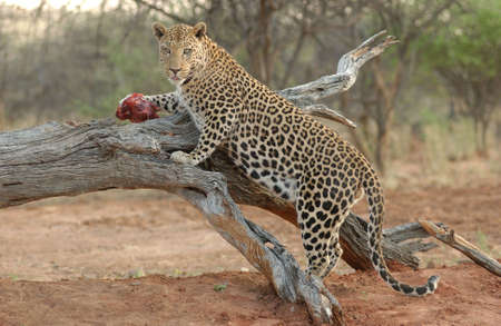 africat: Leopard - Namibia, Africa