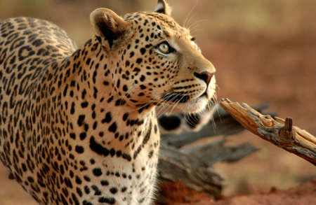 Leopard - Namibia, Africa Stock Photo - 183151