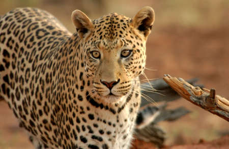 Leopard - Namibia, Africa Stock Photo - 183152