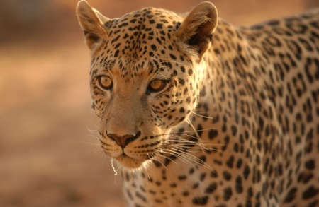 Leopard - Namibia, Africa Stock Photo - 183155