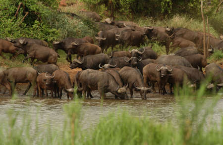 African Buffalo - Kruger National Park, South Africa photo