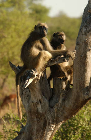 sightsee: Babuinos - Parque Nacional Kruger - Sud�frica