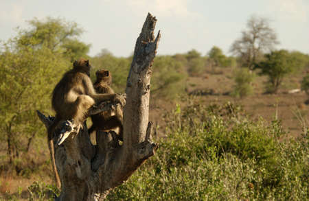 countrysides: Baboons - Kruger National Park - South Africa Stock Photo
