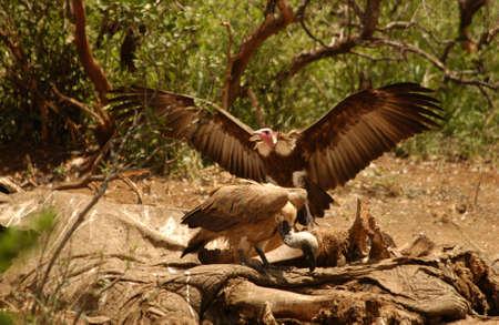 bird eating raptors: Birds - Africa